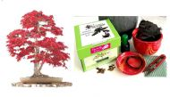 Premium Bonsai Kit in Gift Box (Japanese Maple )8pieces,Includes CERAMIC Pot